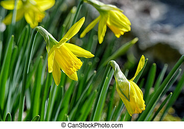 suisen jonquilles jaune jonquille fleur field narcisse fleurs ou. Black Bedroom Furniture Sets. Home Design Ideas