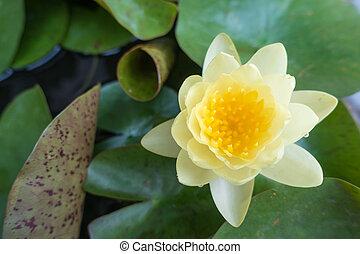 jaune, lotus fleur, dans, entiers, bloom.