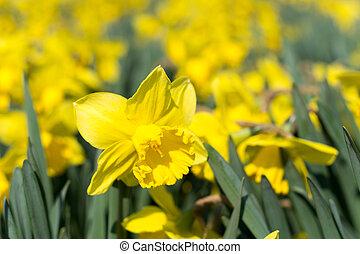 jaune, narcisse, peu profond, profondeur champ, macro, foyer