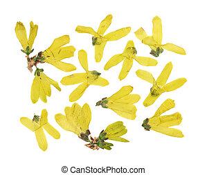 jaune, ou, arrière-plan., séché, usage, pressé, blanc, isolé, fleurs, scrapbooking, ensemble, herbarium., forsythia, floristry