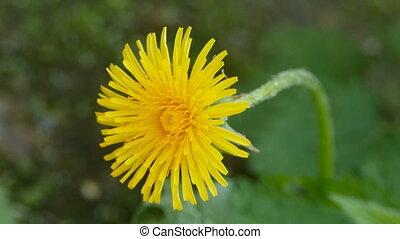 jaune, pissenlit