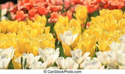 jaune, printemps, tulipes, blanc, rouges