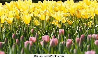 jaune, tulipes, fleurir