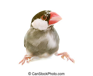 Java sparrow in studio