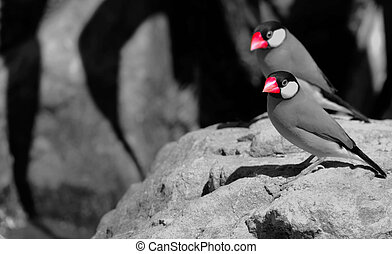 Java sparrows sitting on a rock in New Zealand.