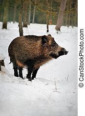 javali selvagem, em, um, nevado, floresta