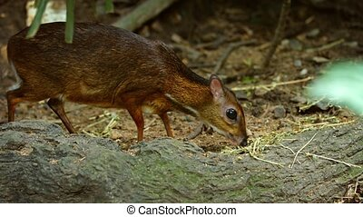 Adorable Javan chevrotain, grazing nervously in his habitat enclosure at a popular public, with nature sounds.