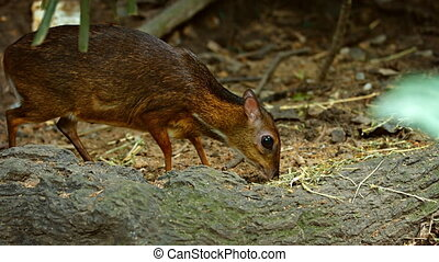 Javan Mouse Deer Grazing at the Zoo, with Sound