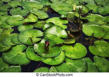 Javan Pond Heron (Ardeola speciosa) Between Lilypad leaves