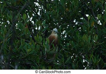 Javan pond heron perched on tree branches of the mangrove tree