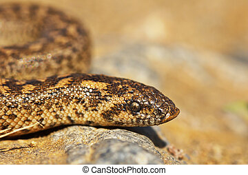 javelin sand boa close up, portrait of young snake ( Eryx...