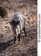 Javelina or collared peccary in the Sonoran Desert