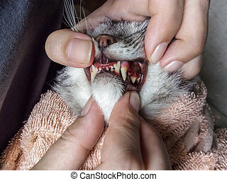 jaw of a gray cat with periodontal disease, closeup