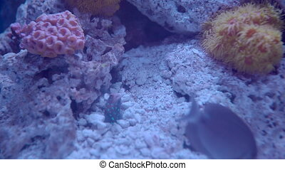 Jawfish Feeding From Hidey Hole - A Jawfish jumps out of his...