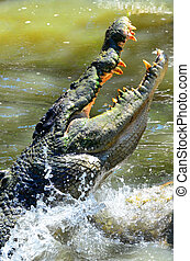 Jaws of a Saltwater crocodile leap out of the water