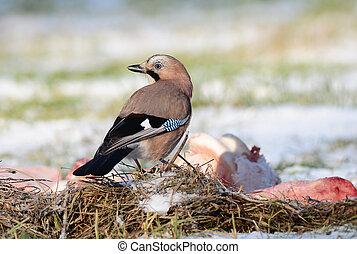 Jay bird on winter ground eating carcass