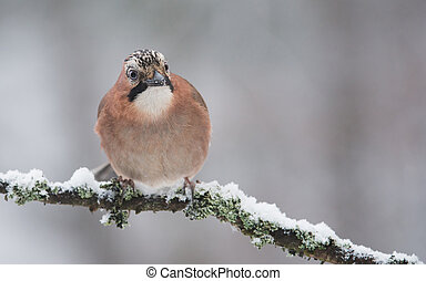 jay bird