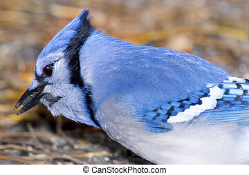 Jay, Blue Jay