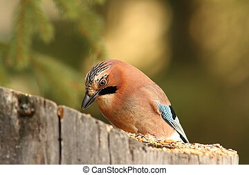 jay eating at garden bird feeder