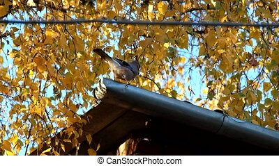 Jay is throwing leaves from the roof drainage in search of food (Garrulus glandarius)