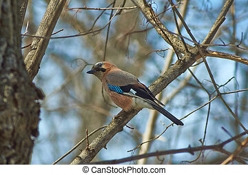 Jay on a tree branch in spring forest.