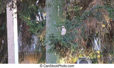 Jay sits on a spruce branch and then flies away (Garrulus glandarius)