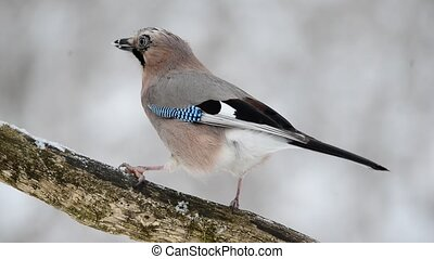 Jay sitting on a branch
