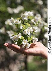 jazmín, mano, hembra, flores, close-up., puntilla