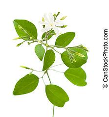Estrella planta jazm n primavera encantador estrella for Jazmin planta precio