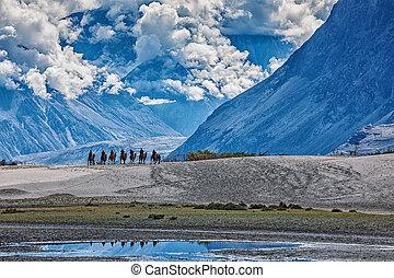 jeżdżenie, wielbłądy, turyści