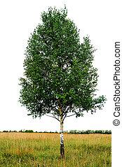 jednorazowy, drzewo, brzoza