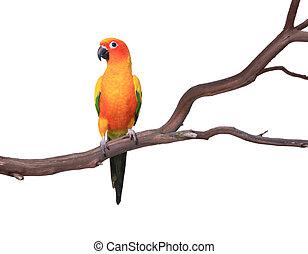 jednorazowy, słońce conure, papuga, na, niejaki, drzewo gałąź