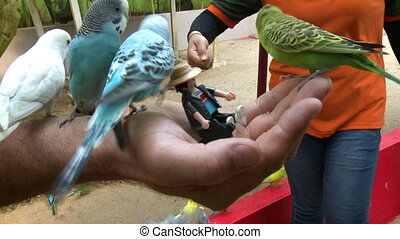 jedzenie, parakeets, poza, ręka