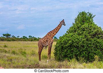 Long-necked giraffe