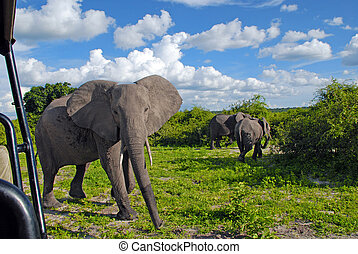 jeep, safari, med, gigantisk, afrikansk elefant, in, vild, savanna(national, parkera, chobe, botswana)