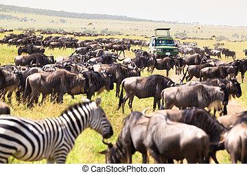 Jeeps on african wildlife safari. - Big herds of...