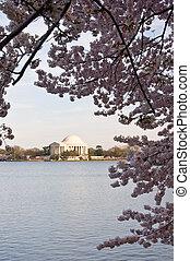 Jefferson Memorial framed by Cherry Blossom over Tidal Basin...