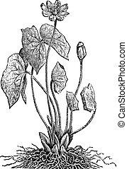 Jeffersonia or Twinleaf vintage engraving - Jeffersonia or...