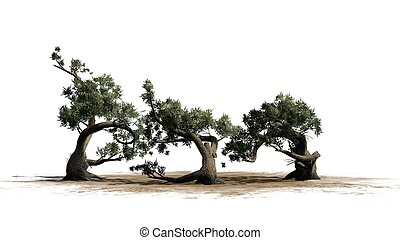 Jeffrey Pine tree cluster on a sand area - isolated on white background
