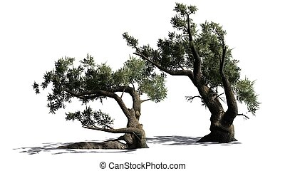 Jeffrey Pine tree cluster with shadow on the floor - isolated on white background