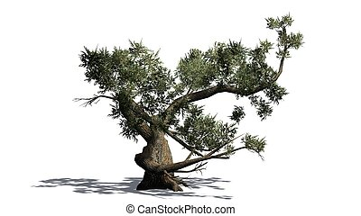 Jeffrey Pine tree with shadow on the floor - isolated on white background