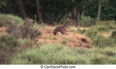 jeleń, na dół, żucie, samica, ruchomy, leżący, kłosie