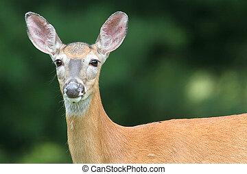 jelen, neposkvrněný- opatřit koncem, srna