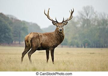 jelen, podzim, jelen, podzim, majestátní, portrét, červeň