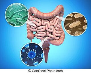 jelito, concept., ludzki, jelito, jelitowy, zdrowie, bacteries, flora