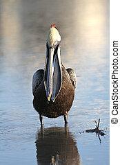 jellemző, barna pelican, fish, zacskó, -e