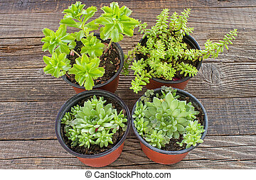 Jelly bean plant and houseleek in pot on wooden background
