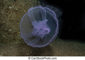jelly fish in the Red Sea