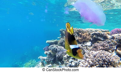 Jellyfish and Butterfly Yellow Fish Floating in Red Sea near the Coral Reef. Egypt.