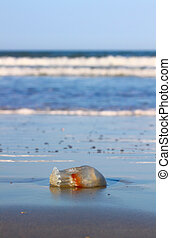 Jellyfish at Daytona Beach